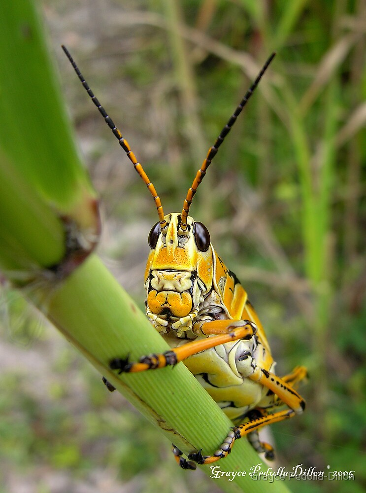 Lubber Grasshopper by Grayce Pedulla-Dillon