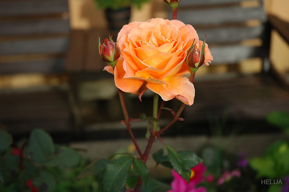 Rose Garden by HELUA