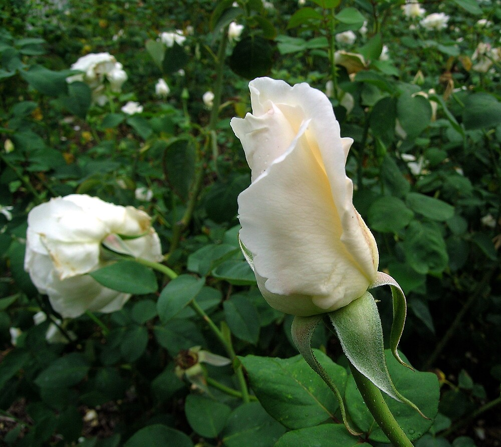 White Rosebud by Dianna
