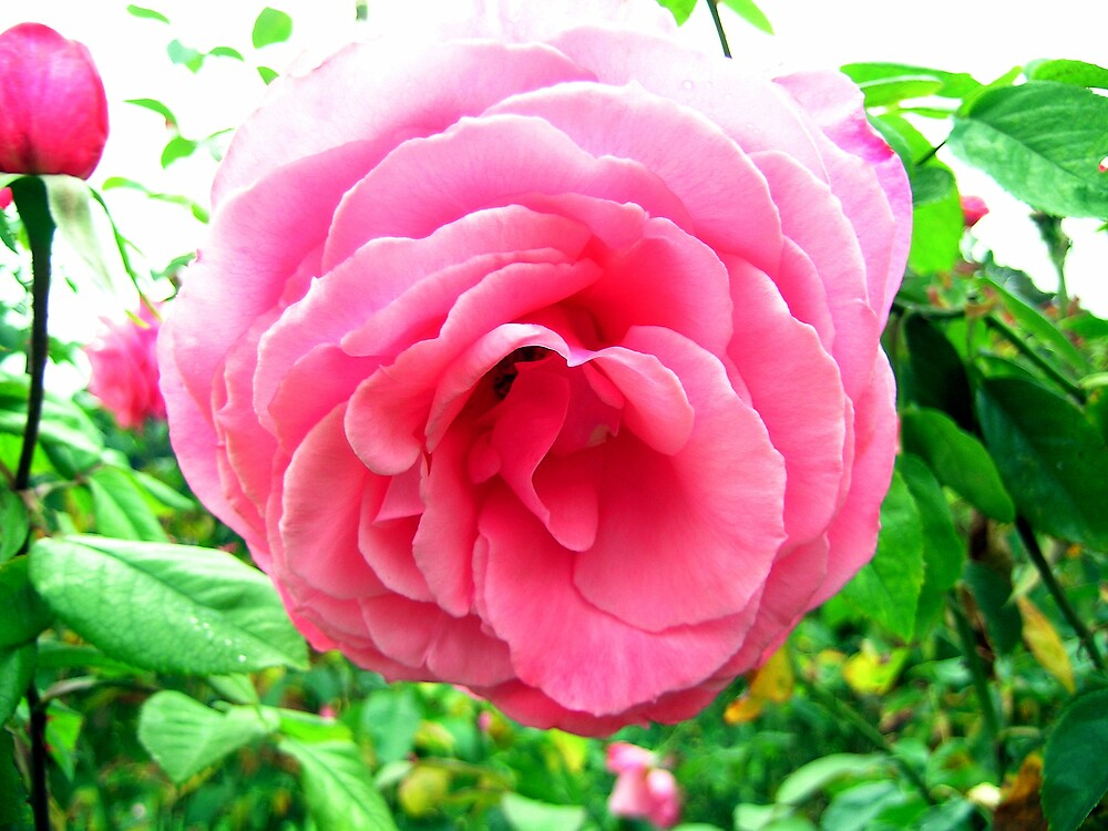 Fluffy Rose by Dianna