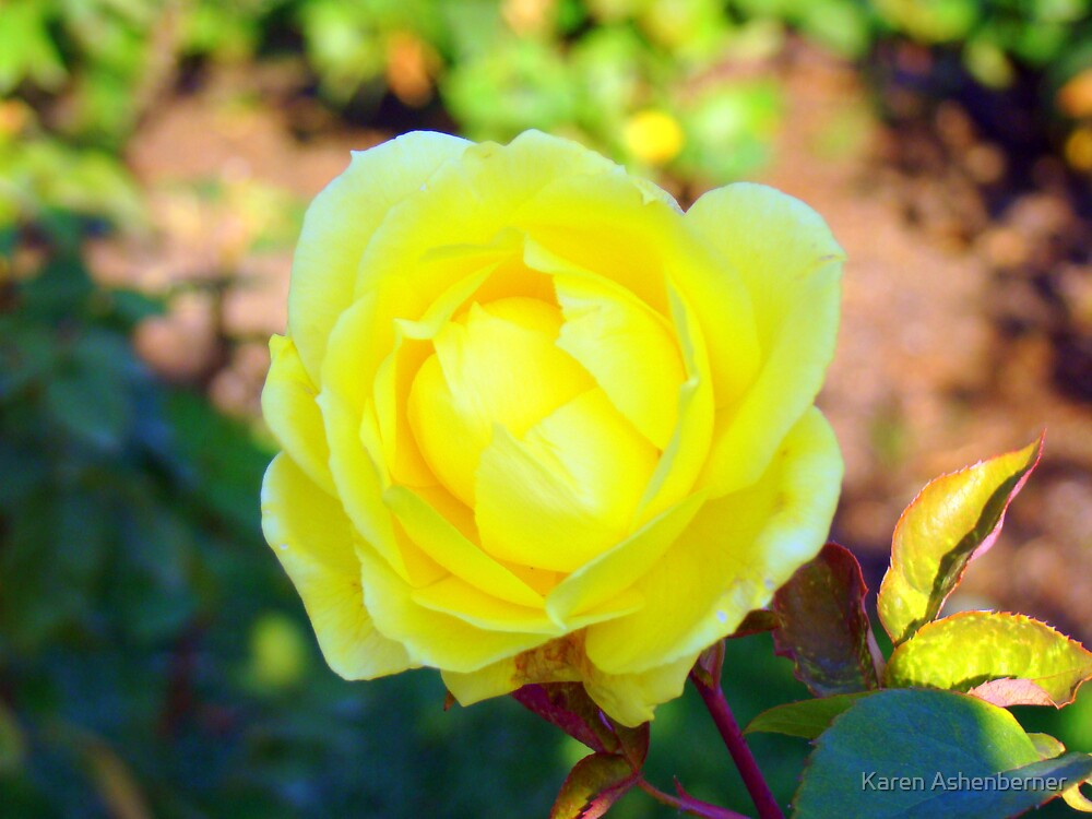 Last Rose of the Season by Karen Ashenberner