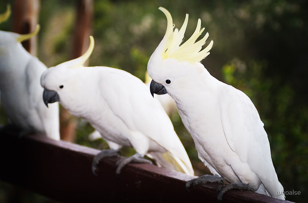 Cockatoos by whoalse