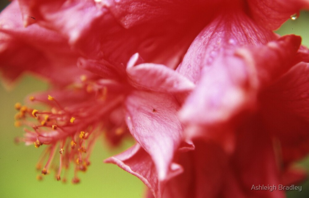 pink flower by Ashleigh Bradley
