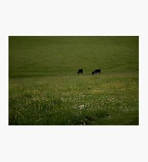 Cows Photographic Print