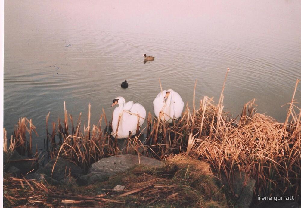 Swans' nest by irene garratt