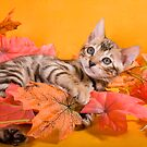 Fall Kitten by idapix