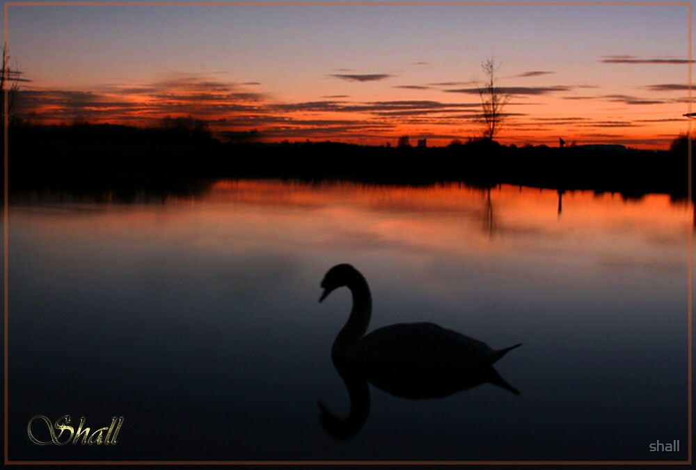 Sunset Swan by shall
