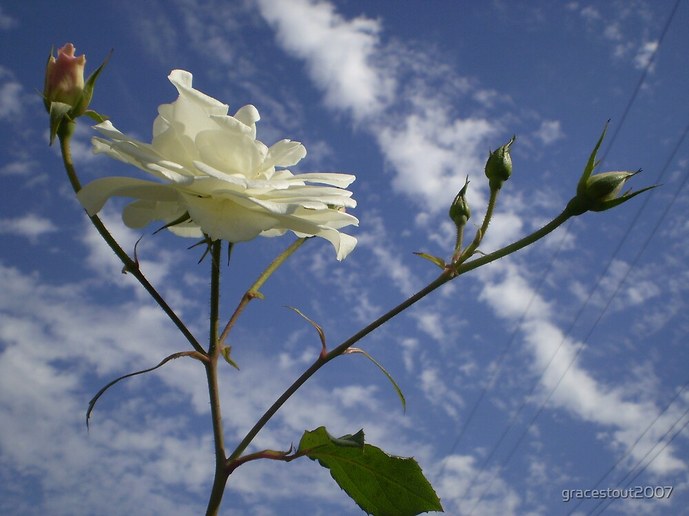 WHITE ROSE AGAINST BLUE SKY by gracestout2007