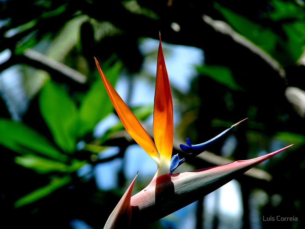 Bird of Paradise by Luis Correia