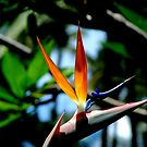 Bird of Paradise by Luis Correia