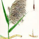 Common Reed - Phragmites communis by Sue Abonyi