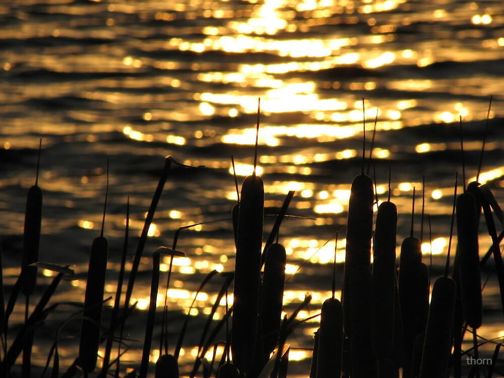 Reeds by thorn