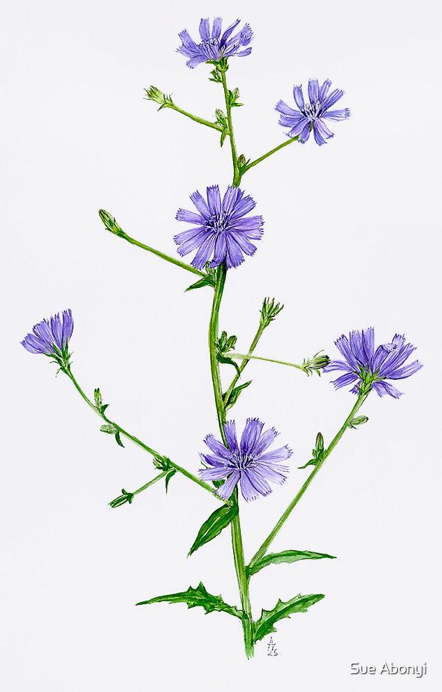 Chicory - Chicorium inthybus by Sue Abonyi
