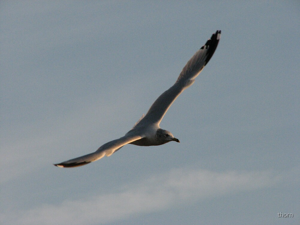 Wing Span by thorn