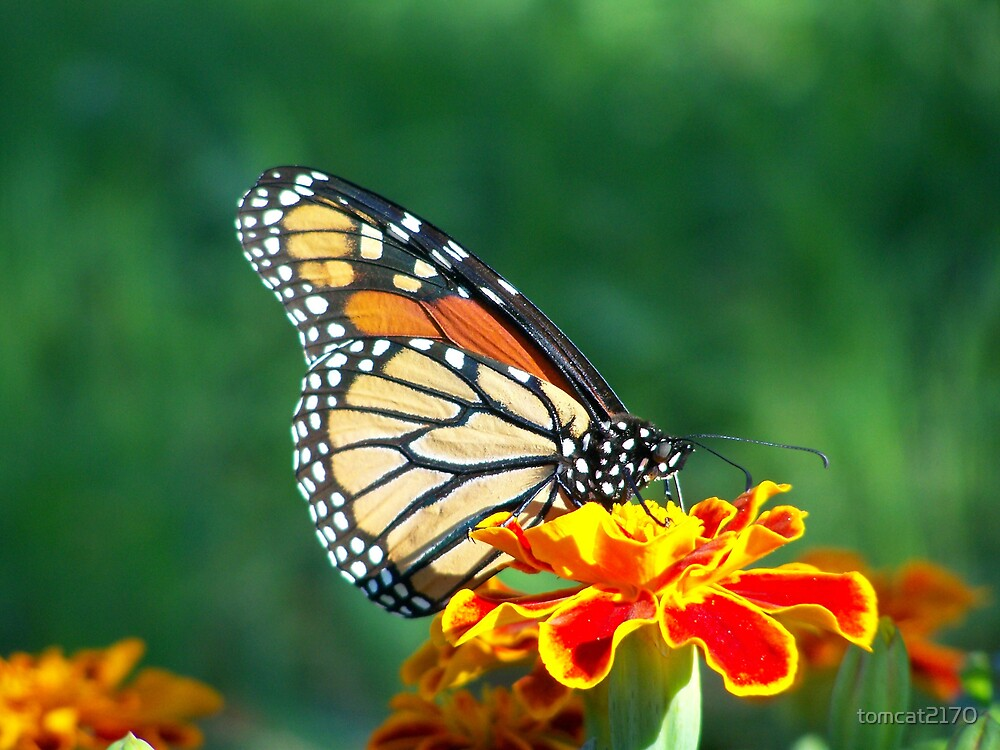 butterfly pattern by tomcat2170