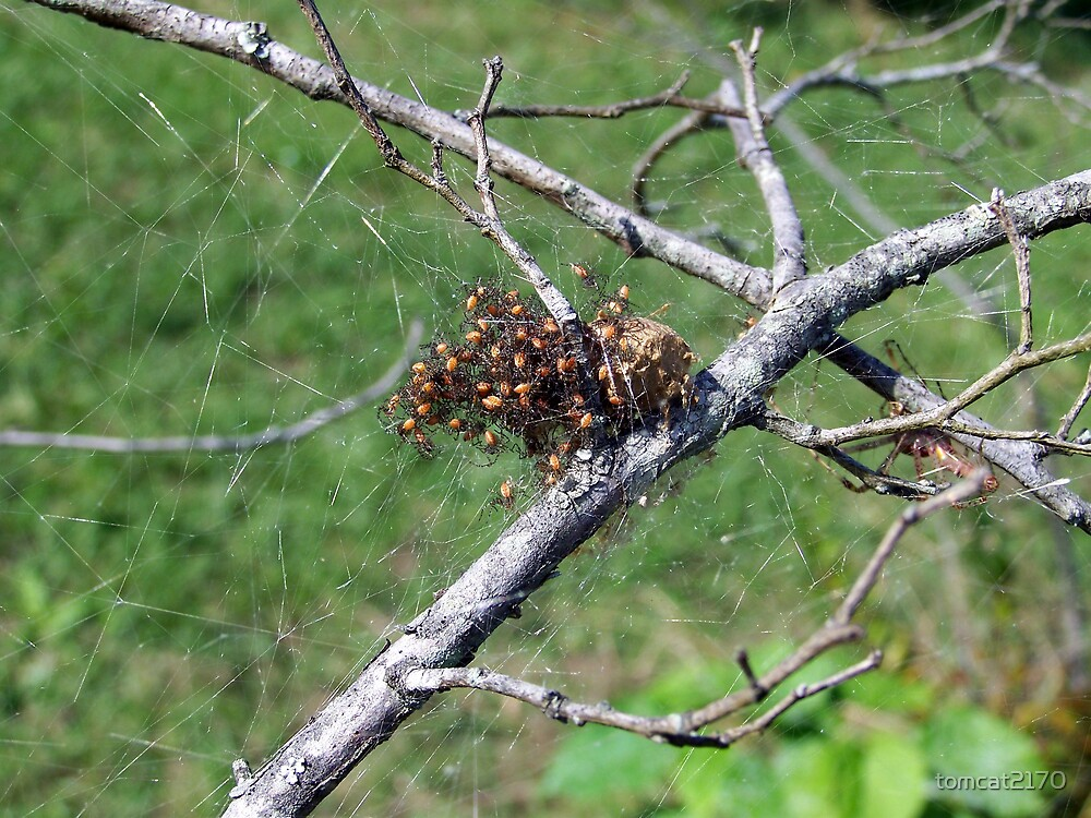 clutch of spiders by tomcat2170