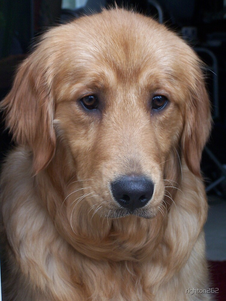 golden retriever by righton262