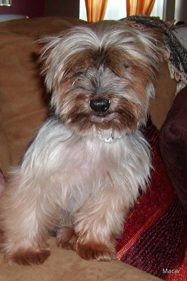 Yorkie dog by Macar
