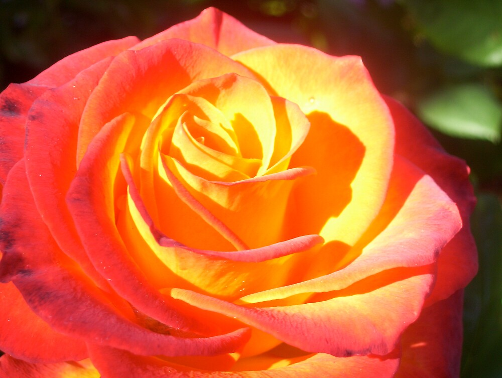 tri colored rose by michelita