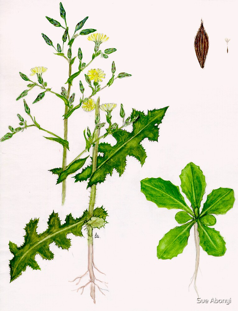 Prickly Lettuce - Lactuca serriola by Sue Abonyi