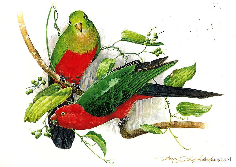 King Parrots by eric shepherd