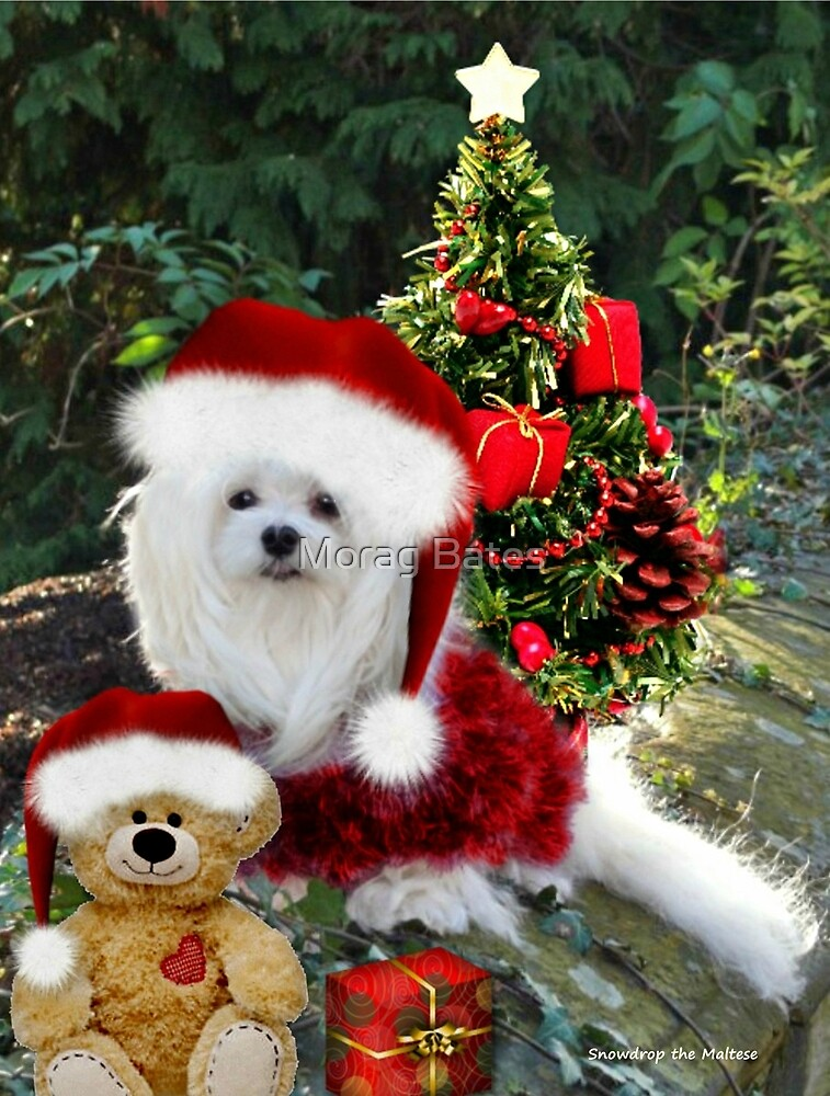 Snowdrop the Maltese & Little Ted by Morag Bates