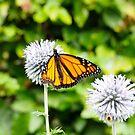 Butterfly, Hamilton Gardens by SUBI