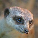 Meerkat by Richard  Windeyer