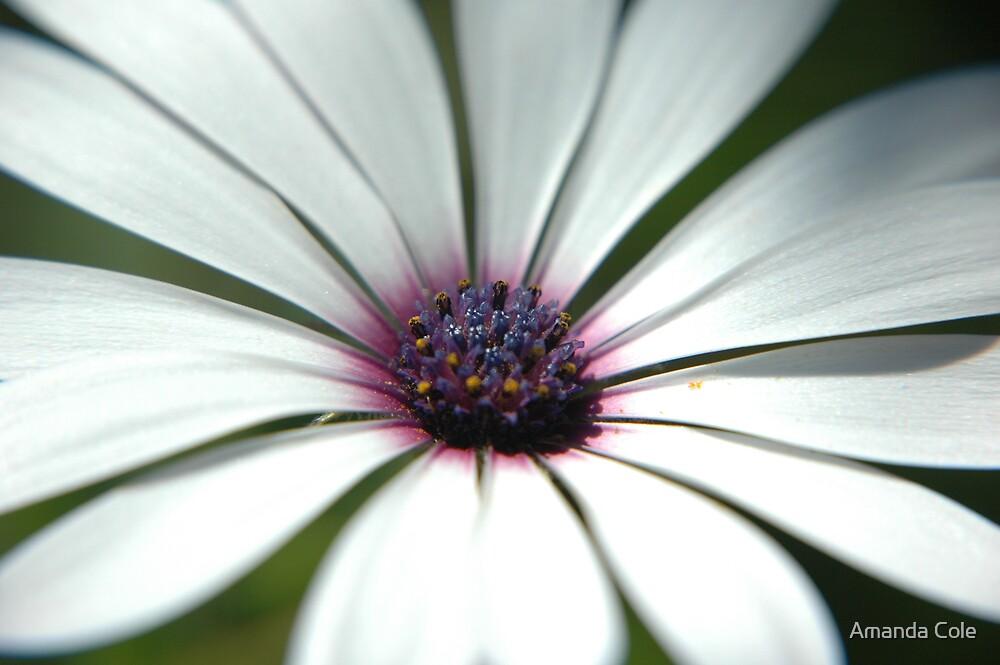 daisy by Amanda Cole