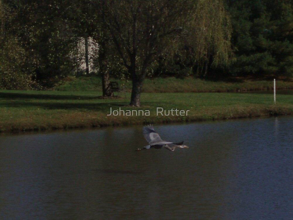 Crane in Flight by Johanna  Rutter