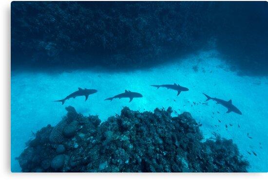 Shark Alley by Norbert Probst