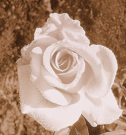 Dew on Rose by barkha