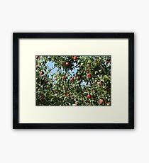 Ripe red  apples hanging tree Framed Print