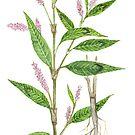 Curlytop Knotweed - Polygonum lapathifolium by Sue Abonyi