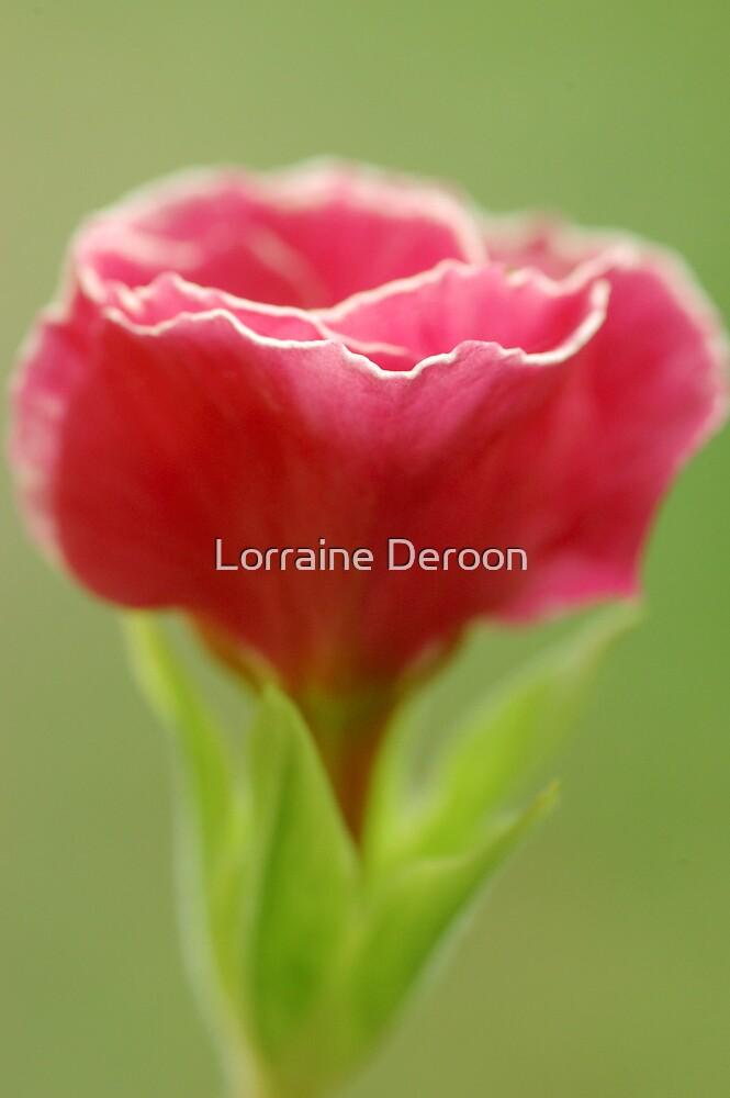Primula  by Lorraine Deroon