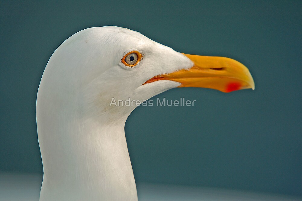 Seagull Close-up by Andreas Mueller