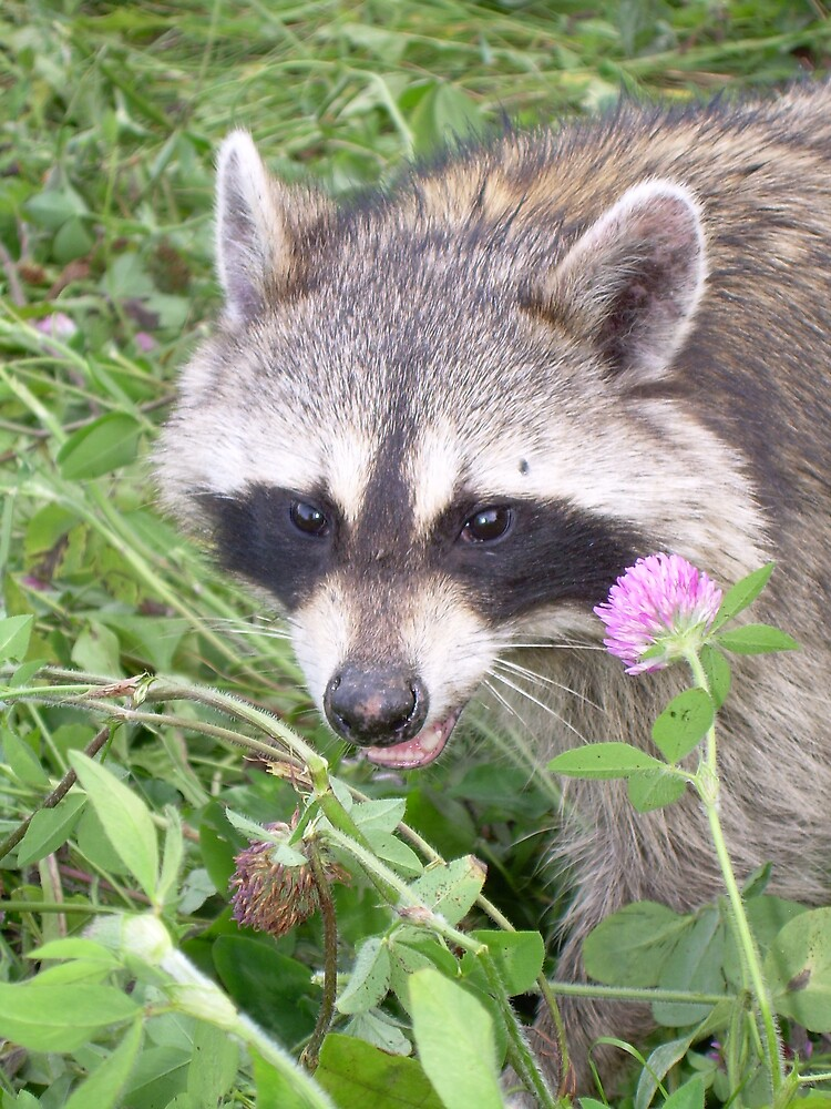 Raccoon in the Grass 787 by NiftyGaloot