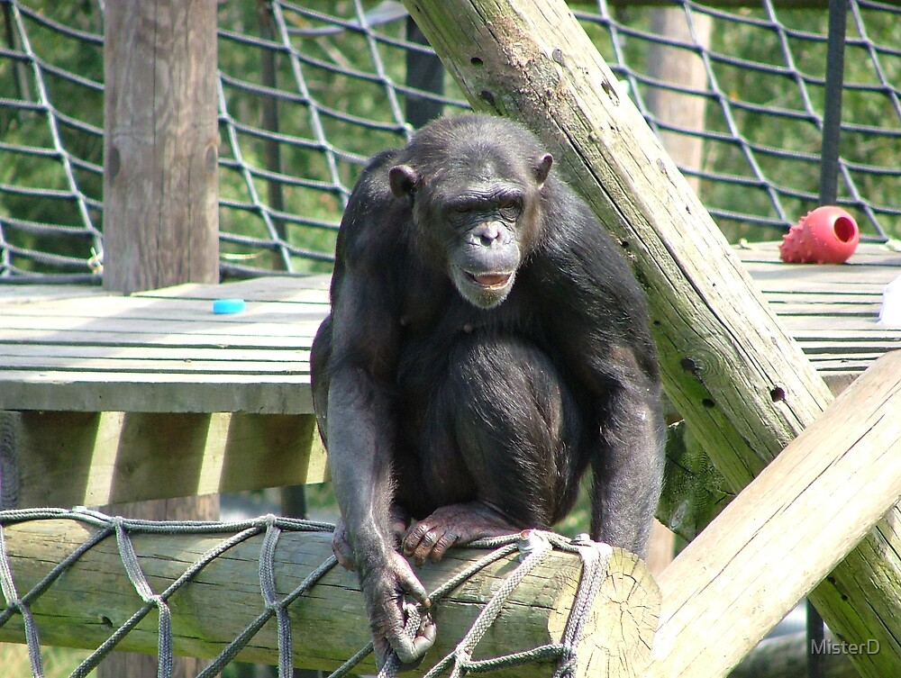 Chimpanzee by MisterD