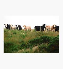 Curious Cows, Inch Island, Donegal, Ireland Photographic Print