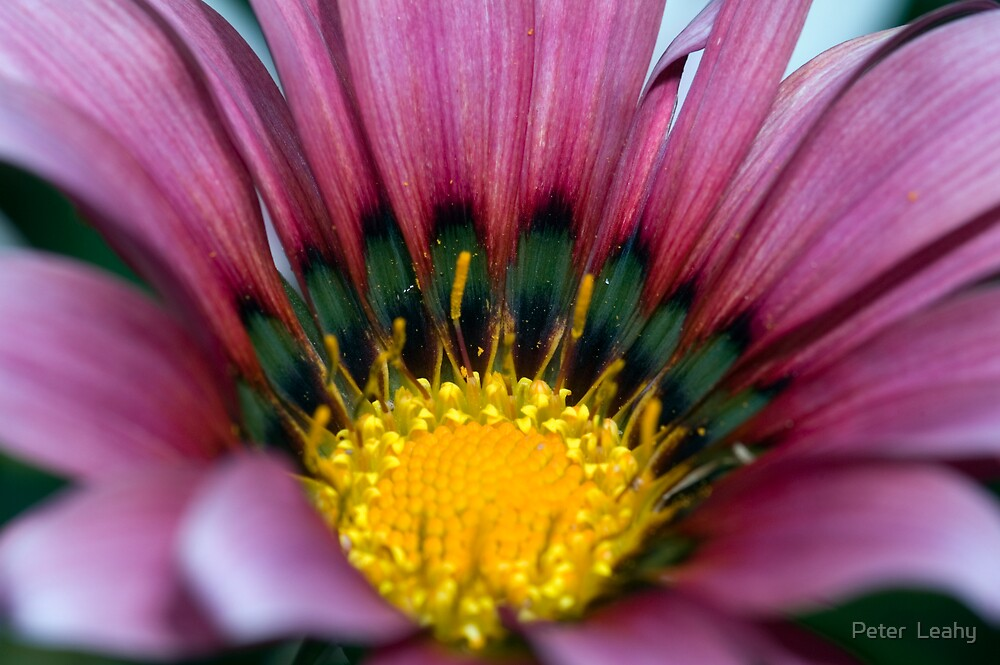 Pink Flower by Peter  Leahy