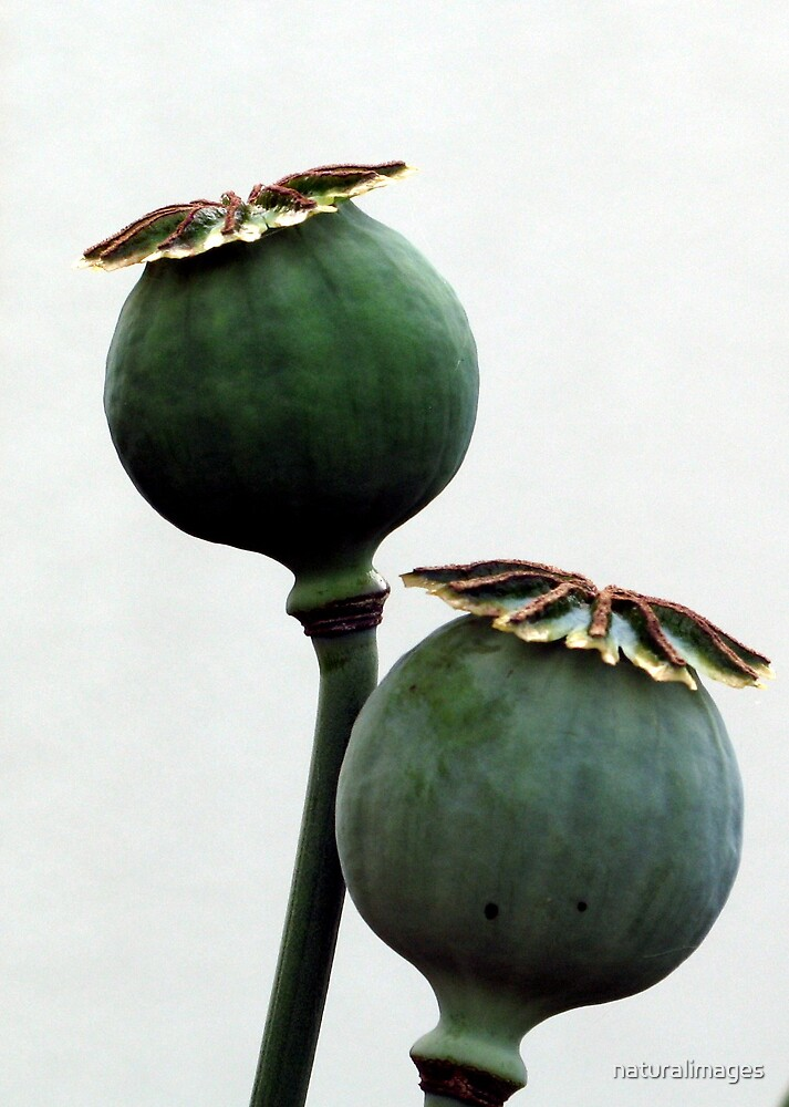 2 poppy heads by naturalimages