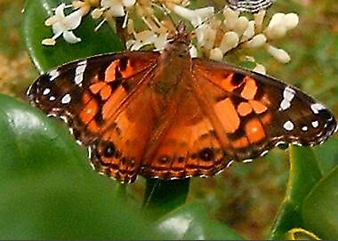 Painted Lady by artwoman3571
