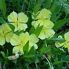 Night Blooming Evening Primrose by Navigator