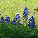 Early Morning Bluebonnets by Navigator