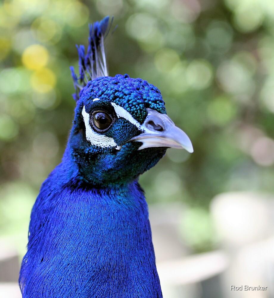 Peacock Portrait by Rod Brunker