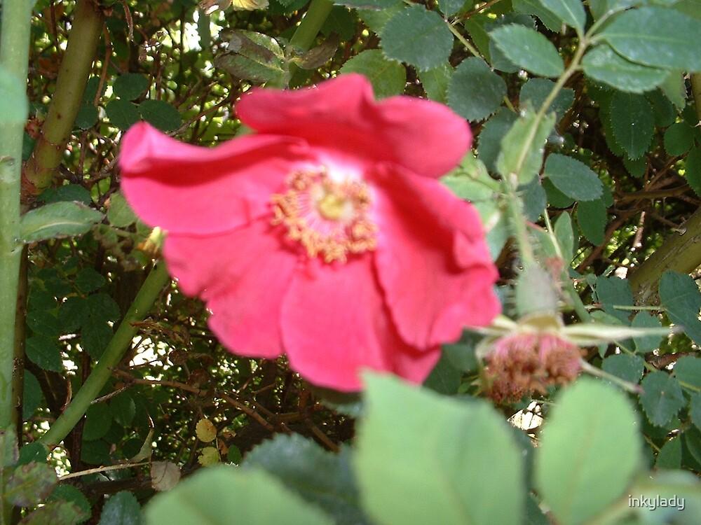 dog rose by inkylady