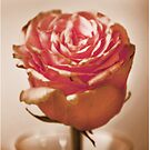 Heirloom Rose in full bloom by #PoptART products from Poptart.me