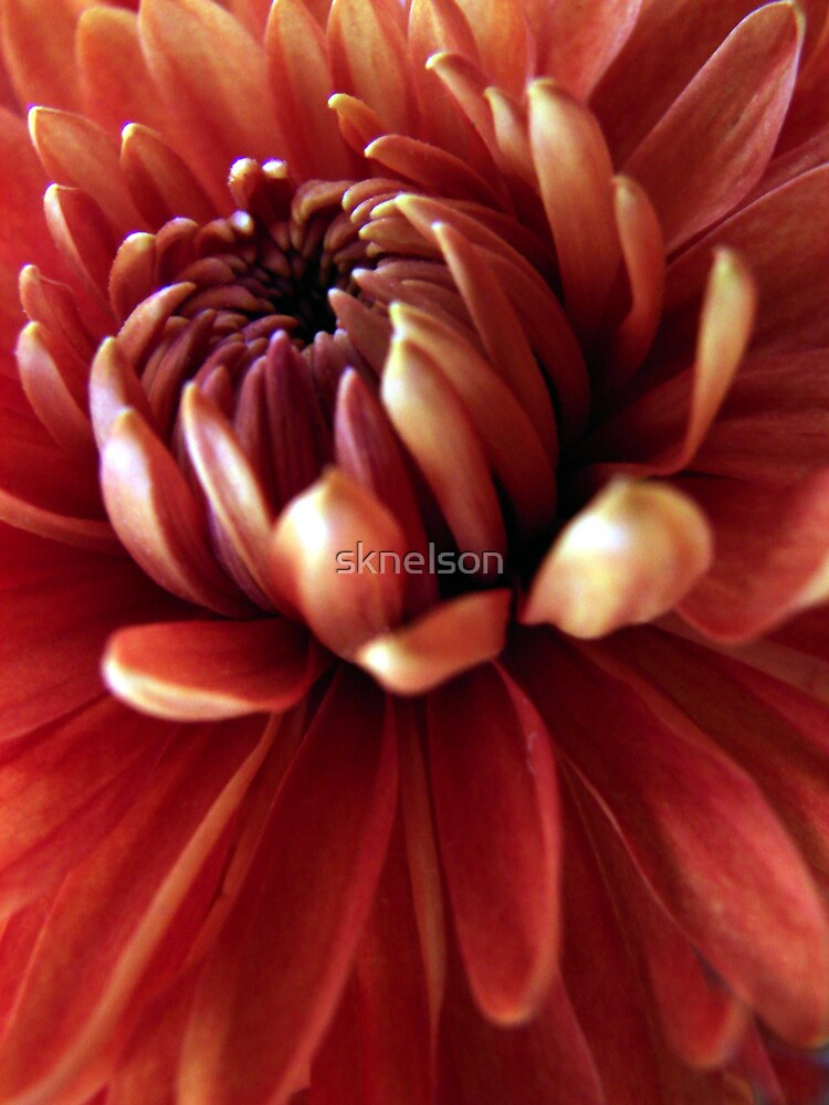 Fall Mum by sknelson