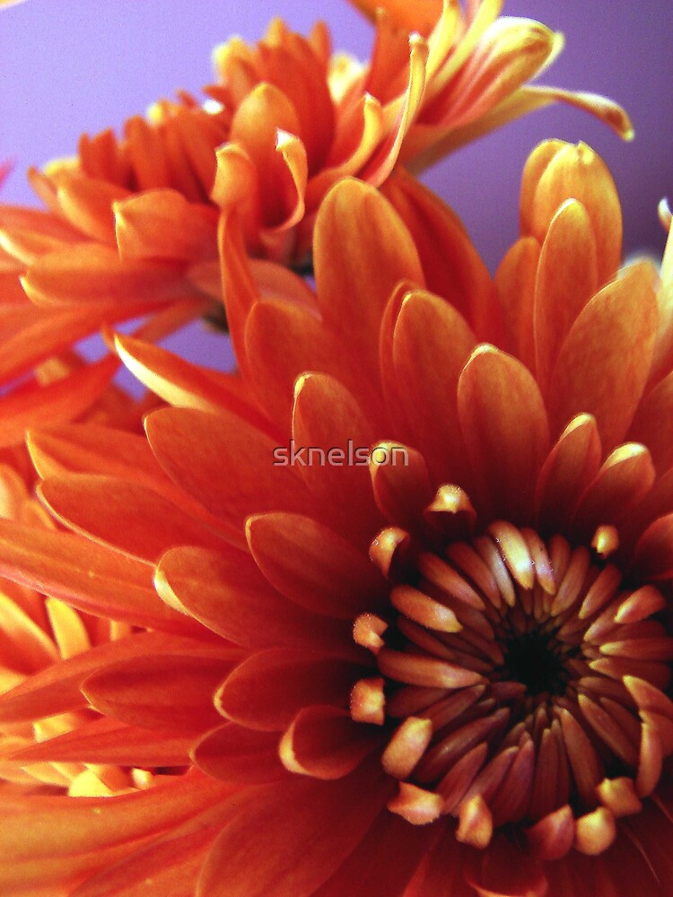 Fall Mums by sknelson