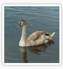 Swan relaxing on the river Sticker